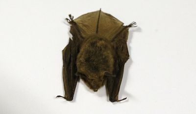 This Feb. 8, 2017 photo shows a northern long-eared bat, at the Cleveland Museum of Natural History, in Cleveland. Ohio opponents of a high-pressure natural gas pipeline expected to be built across the northern half of the state are clinging to the wings of a furry flyer, the northern long-eared bat, in their efforts to at least delay the $2 billion project. The existence of the threatened species remains one of the impediments the partnership between Houston-based Spectra Energy and Detroit's DTE Energy face before receiving expected approval to build the 255-mile long NEXUS pipeline capable of transporting 1.5 billion cubic feet of gas per day from the shale fields of Appalachia into Michigan and Ontario, Canada.  (AP Photo/Tony Dejak)