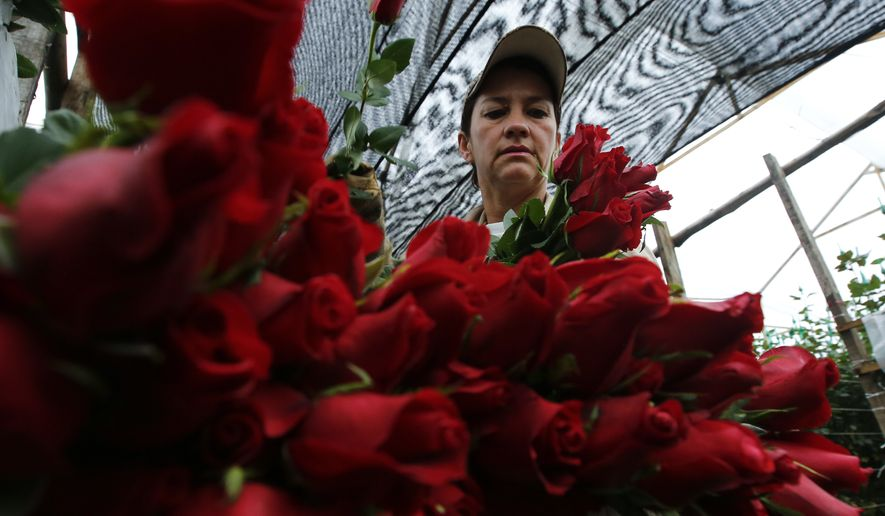 In this Jan. 20, 2017 photo, a worker packs rose buds to be shipped to the United States ahead of Valentine's Day, at the Ayura flower company in Tocancipa, north of Bogota, Colombia. The country's flower industry took off in the early 1990s when the U.S. Congress passed a law eliminating tariffs on goods from Andean drug-producing nations in a bid to encourage legal exports instead. (AP Photo/Fernando Vergara)