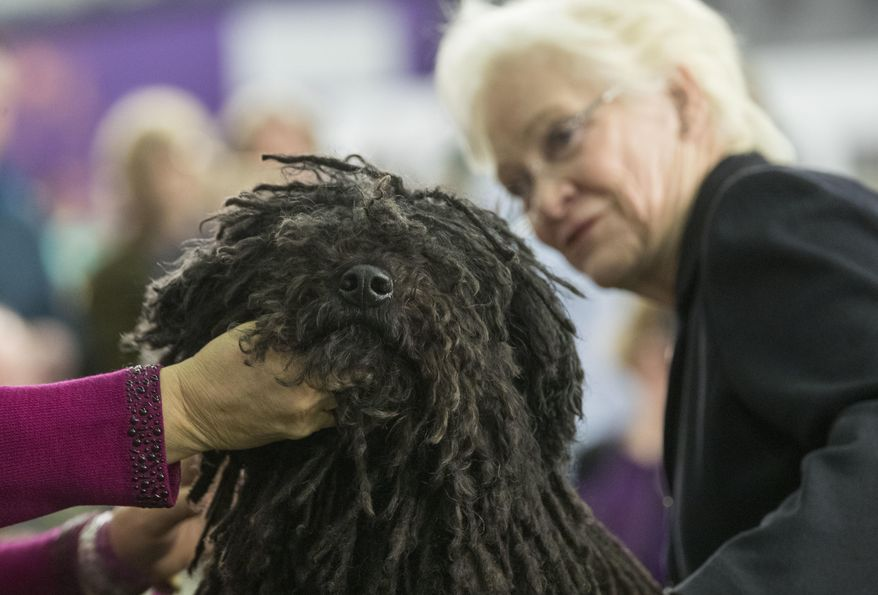 Preston, a puli, is inspected by judge Dorothy Collier in the ring during the 141st Westminster Kennel Club Dog Show, Monday, Feb. 13, 2017, in New York. (AP Photo/Mary Altaffer)