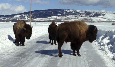 In this Feb. 4, 2017 photo provided by Grand Teton National Park, three bison linger on a plowed area of Antelope Flats Road, in Grand Teton National Park, Wyo. Park officials have been escorting small groups of bison along U.S. 26-89-191 to try to prevent more bison from being killed by motorists. A truck killed a bison on the highway in the park on Feb. 11. Bison and other animals have been moving along the plowed highway rather than struggle through snow more than 3 feet deep. (Grand Teton National Park via AP)