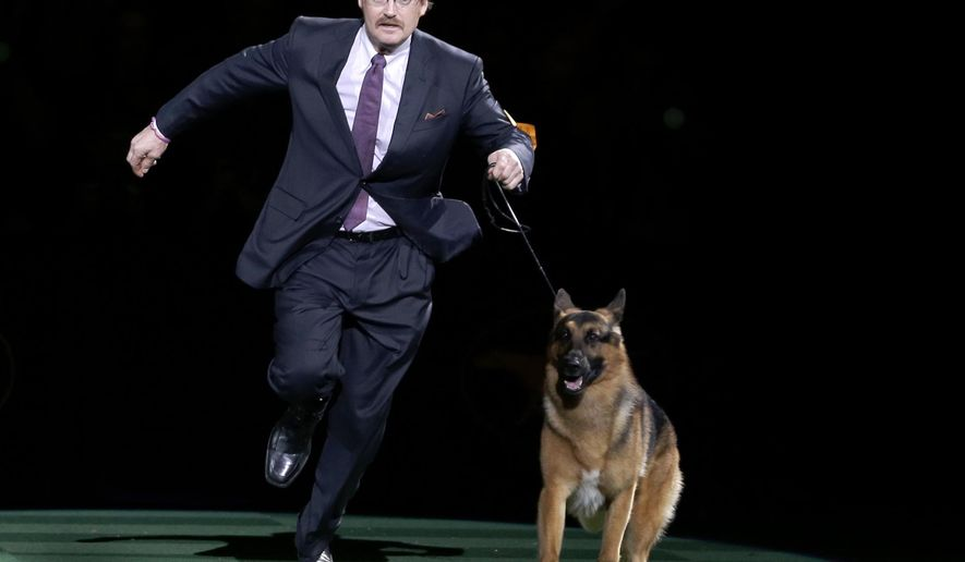 FILE - In this Feb. 16, 2016, file photo, Rumor, a German shepherd, and Kent Boyles take a lap around the ring during the best in show competition at the 140th Westminster Kennel Club dog show at Madison Square Garden in New York. CJ, a German shorthaired pointer, won best in show. Rumor, who just missed winning at the Westminster Kennel Club in 2016, came back to score a big victory Monday, Feb. 13, 2017, beating out favored Preston the puli in the herding group. (AP Photo/Seth Wenig, File)