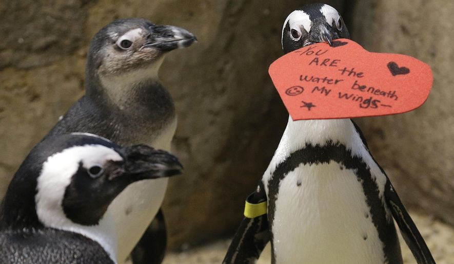 An African penguin bites into a heart shaped valentine at the California Academy of Sciences in San Francisco, Monday, Feb. 13, 2017. The valentines will be used as nesting material. (AP Photo/Jeff Chiu)