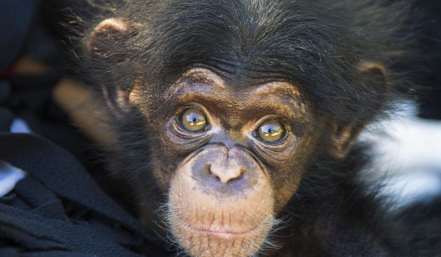 This June 15, 2016 photo provided by the Kansas City Zoo in Kansas City, Mo., shows Ruw, a female baby chimpanzee that was born at the zoo on April 1, 2016. Ruw, rejected by her mother days after her birth, has been raised so far by humans and is expected to be in the public exhibit with the rest of the primate troop Saturday afternoon Feb. 18, 2017, and Sunday. (Kansas City Zoo via AP)