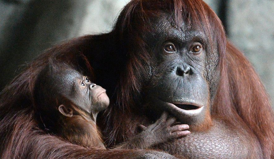 An Orangutan named Dasa holds her new born baby at the Erie Zoo, Friday, Feb. 17, 2017, in Erie, Pa. The male baby was born on Feb. 1. (Greg Wohlford/Erie Times-News via AP)