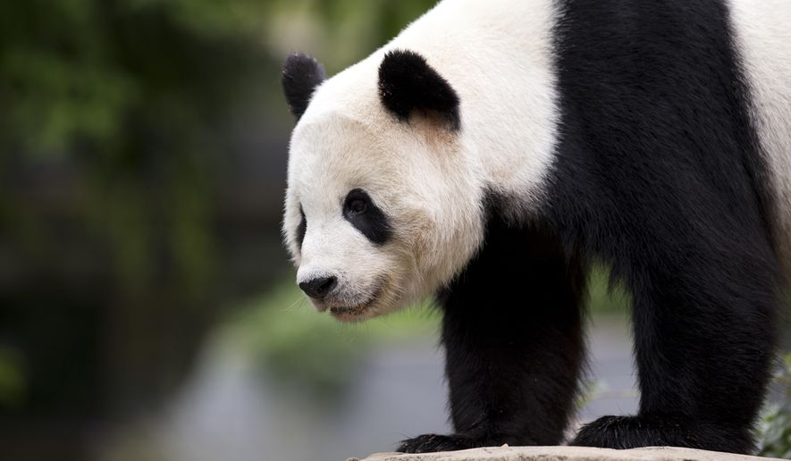 FILE - In this Sept. 25, 2015, file photo, panda cub Bao Bao, roams in an enclosure at the Smithsonian's National Zoo in Washington. Bao Bao is scheduled to depart the zoo Tuesday, Feb. 21, 2017 for a one-way flight to China, where the 3-year-old will eventually join a panda breeding program. (AP Photo/Manuel Balce Ceneta, File)