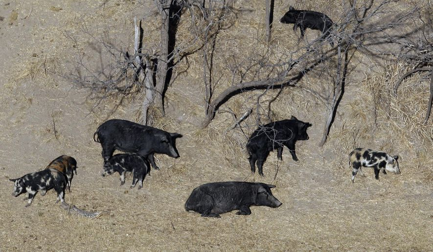 """FILE - In this Feb. 18, 2009 file photo, feral pigs roam near a Mertzon, Texas ranch. The Texas agriculture commissioner announced Tuesday, Feb. 21, 2017, that he has approved the use of a poison that he says may herald a """"feral hog apocalypse"""" in a state where an estimated 2.5 million hogs roam. Commissioner Sid Miller said this week that bait food will be laced with warfarin, which is used as a blood thinner but has proven lethal to hogs. (AP Photo/Eric Gay, File)"""