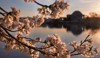 National Cherry Blossom Festival organizers predict that the District of Columbia's iconic cherry blossom trees will reach peak bloom between March 14 and March 17 for their earliest ever peak event. The annual festival will begin March 15. (Associated Press) **FILE**