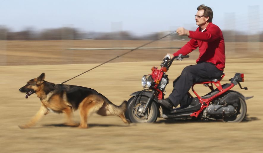 ADVANCE FOR MARCH 4-5 AND THEREAFTER - In a Tuesday, Feb. 21, 2017 photo, Kent Boyles, part-owner and handler of the Westminster Kennel Club's 2017 Best in Show winner, Rumor, exercises the prize-winning German shepherd from the seat of a motorized scooter on his property near Edgerton, Wis. (John Hart/Wisconsin State Journal via AP)
