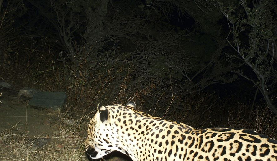 This Nov, 16, 2016 photo provided by the U.S. Fish and Wildlife Service shows a Jaguar photographed by a motion-detection cameras in the Dos Cabezas Mountains in southern Arizona. Wildlife officials say they have evidence of a rare jaguar sighting in the United States. The U.S. Fish and Wildlife Service released a photo Thursday, March 2, from a trail camera that was taken in November and recently retrieved. (BLM/U.S. Fish and Wildlife Service via AP)