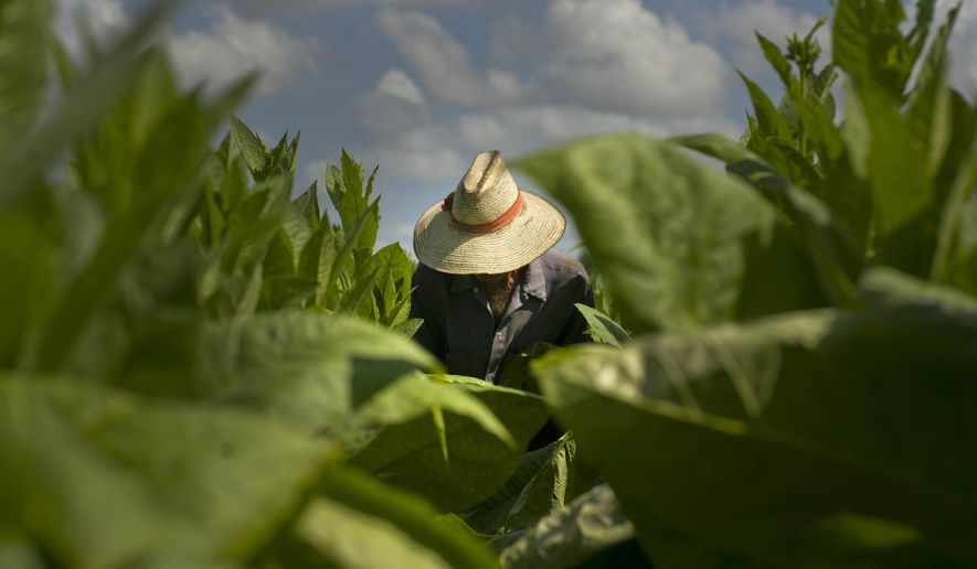 In this Feb. 28, 2017 photo, a picker collects tobacco leaves at the Martinez farm in Cuba's western province Pinar del Rio. Cuban tobacco farmers are celebrating a bumper crop after two bad years that coincided with a boom in demand set off by a surge of tourists and looser U.S. rules on cigar-buying. (AP Photo/Ramon Espinosa)