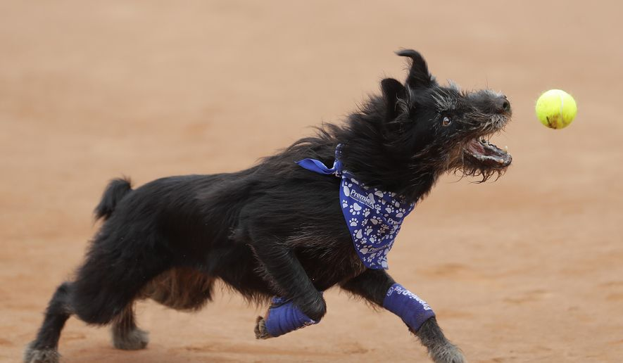 A shelter dog specially trained as a ball-retriever catches a tennis ball during an exhibition event at the Brazil Open tournament in Sao Paulo, Brazil, Saturday, March 4, 2017.  Wearing blue bandanas around their necks, specially trained shelter dogs showed off their talents shortly before Joao Sousa of Portugal met Spain's Albert Ramos-Vinolas in the day's first semifinal match. (AP Photo/Andre Penner)