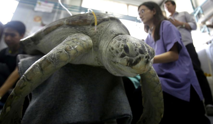 """25-year-old green sea turtle """"Bank"""" receives rehabilitation treatment at the Chulalongkorn University in Bangkok, Thailand, Friday, March 10, 2017. Veterinarians operated on Bank Monday to remove 915 coins weighing 5 kilograms (11 pounds) from her stomach, which she swallowed after misguided human passers-by tossed coin into her pool for good luck in eastern Thailand. (AP Photo/Sakchai Lalit)"""
