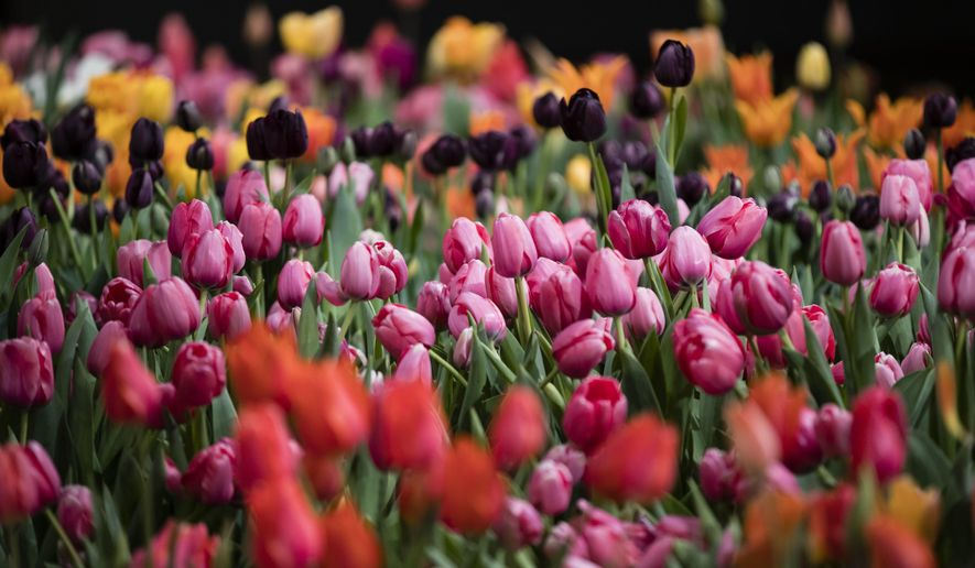 "Tulips are displayed during a preview of the Philadelphia Flower Show Friday, March 10, 2017 at the Pennsylvania Convention Center in Philadelphia. The theme of this year's floral festival is ""Holland: Flowering the World"" and it is scheduled to run from March 11 through March 19. (AP Photo/Matt Rourke)"