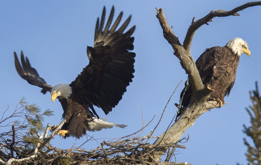 A pair of bald eagles conduct the spring ritual of building a nest in a tall pine tree Saturday, March 11, 2017, on the shore of Sturgeon Lake, off County Road 24, south of Bobcaygeon Ont. (Fred Thornhill/The Canadian Press via AP)