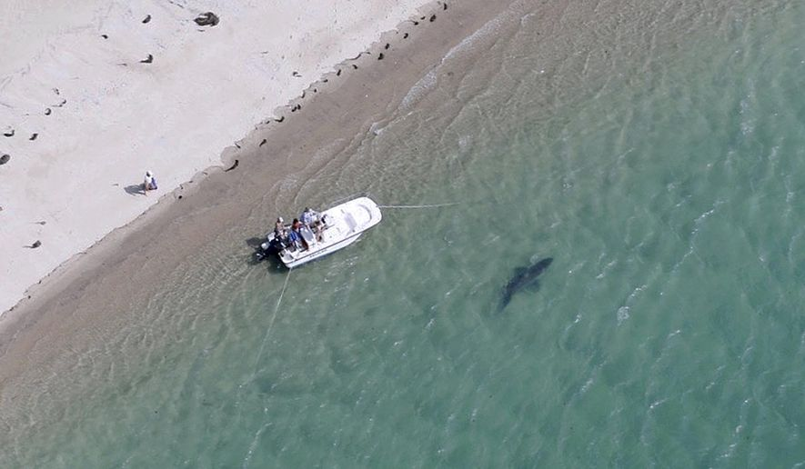 FILE - In this July 25, 2016, file photo, released by the Atlantic White Shark Conservancy, a great white shark swims close to the Cape Cod shore in Chatham, Mass. In a February 2017 update to a multiyear study, Massachusetts Division of Marine Fisheries' top shark expert Greg Skomal said researchers using a plane and boats spotted 147 individual sharks off Cape Cod in the summer of 2016. (Wayne Davis/Atlantic White Shark Conservancy via AP, File)