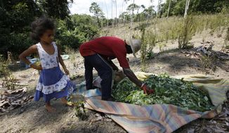 In this March 3, 2017 photo, a girl stands next to a peasant harvesting coca leaves at a coca field in Puerto Bello, in the southern Colombia's state of Putumayo. Coca cultivation surged last year and now covers more territory than it did when a multibillion U.S.-led eradication campaign began 16 years ago, according to a new survey published Tuesday of illegal crops taken by the U.S. government. (AP Photo/Fernando Vergara)