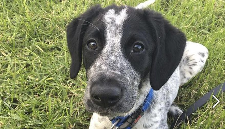 This undated photo provided by the Aviation Security Service of New Zealand shows Grizz, a 10-month-old trainee security dog. Police shot dead a trainee security dog after it escaped its handler and ran onto the tarmac at Auckland, New Zealand, airport early on Friday, March 17, 2017, according to local media reports. (Aviation Security Service of New Zealand via AP)