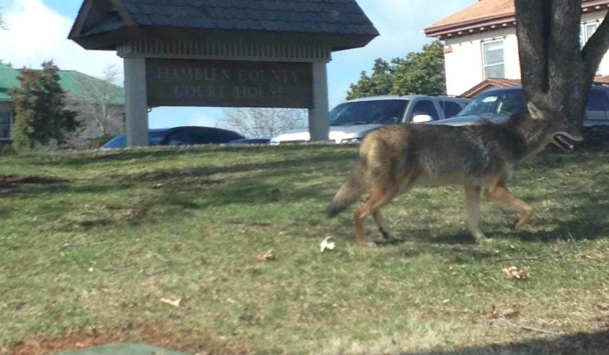 This Feb. 14, 2017 photo provided by attorney Mary Moffatt, shows a coyote as it crosses the Hamblen County Courthouse lawn that she captured with her iPhone in Morristown, Tenn. The howls from area residents about coyote sightings and problem encounters seem to be increasing around Knox County, but experts say it's just seasonal business-as-usual. (Mary Moffatt via AP)
