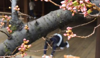 A late-season snowstorm killed many of the cherry blossom buds along the Tidal Bason, but the National Park Service is hopeful surviving younger buds may still bloom during the upcoming National Cherry Blossom Festival. (Associated Press)