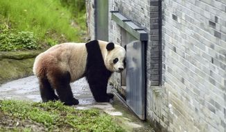 The giant panda Bao Bao stands in an enclosure at its new home at the panda research base in Dujiangyan in southwest China's Sichuan province Friday, March 24, 2017. Friday was the first public appearance for Bao Bao after the beloved panda was returned to China from Washington's National Zoo. (Chinatopix via AP)
