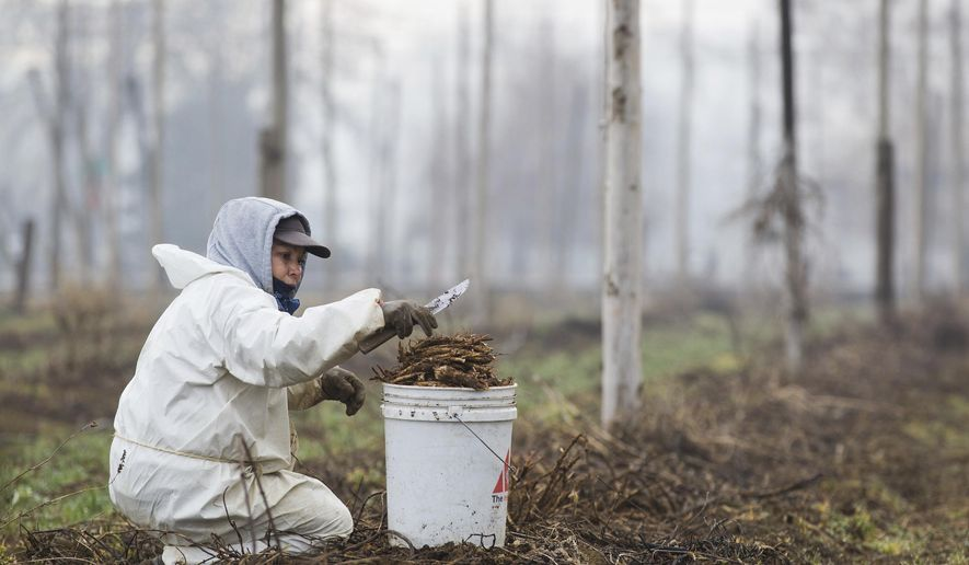 ADVANCE FOR THE WEEKEND OF MARCH 25-26 AND THEREAFTER - In this Tuesday, March 14, 2017 photo, Arminda Lozano collects cleaned and trimmed hops roots in a bucket at a Roy Farms field while preparing this year's crop in Moxee, Wash. (Shawn Gust/Yakima Herald-Republic via AP)