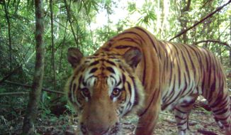 In this 2016 photo released by Thailand's Department of National Parks, Wildlife and Plant Conservation/Freeland, a curious male tiger walks in the jungle in eastern Thailand. Thailand's Department of National Parks, Wildlife and Plant Conservation, Freeland, an organization fighting human and animal trafficking, and Panthera, a wild cat conservation organization, announced Tuesday, March 28, 2017 that their investigations had photographic evidence of new tiger cubs in eastern Thailand's jungle, signaling the existence of the world's second breeding population of endangered Indochinese tigers. (Thailand's Department of National Parks, Wildlife and Plant Conservation/Freeland via AP)