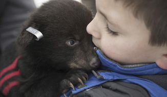 FOR RELEASE SATURDAY, APRIL 1, 2017, AT 3:01 A.M. EDT.-- Camden Marx, 7, holds a baby black bear cub after it received ear tags on March 20, 2017 in Cambria County. The Game Commission tracks female black bears to their dens with radio collars to check their health and tag the ears of their cubs. Occasionally, the Game Commission Officers will bring along friends or family to hold bear cubs and learn about the wildlife firsthand. (Haley Nelson/Pittsburgh Post-Gazette via AP)