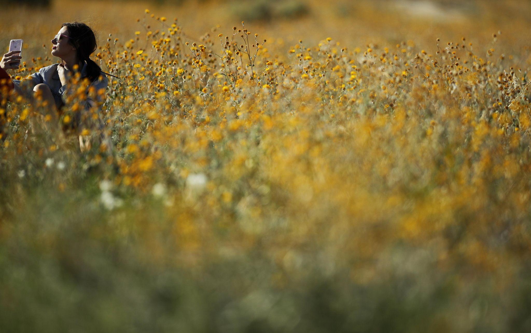 Californias Desert Wildflower Explosion Draws Record Crowds