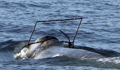 In this photo provided by Capt. Dave's Dolphin and Whale Safari, a gray whale is caught in a crab trap off the coast at Dana Point, Calif. on Saturday, April 1, 2017. The National Marine Fisheries Service is requesting boaters report any sightings of the tangled whale. Figures released a month earlier showed a record number of whales getting tangled in crabbing gear off the U.S. West Coast. The Center for Biological Diversity cited 71 cases of whales caught in fishing lines off California, Oregon and Washington last year. (Craig DeWitt/Capt. Dave's DolphinSafari.com via AP)