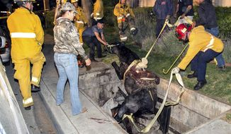 This Saturday, April 1, 2017 photo provided by Bob Markin shows Riverside Fire Department firefighters help rescue a horse from a hole in the ground in Riverside, Calif. Fire officials say the saddled horse and its rider had just left a Taco Bell near downtown Riverside on Saturday when the cover on a utility vault collapsed. Battalion Chief Jeff DeLaurie says a crane was initially requested to haul the horse from the vault but it wasn't needed. The animal managed to position itself so crews could pull it out using ropes. A veterinarian said the horse suffered minor cuts to its legs. (Bob Markin via AP)