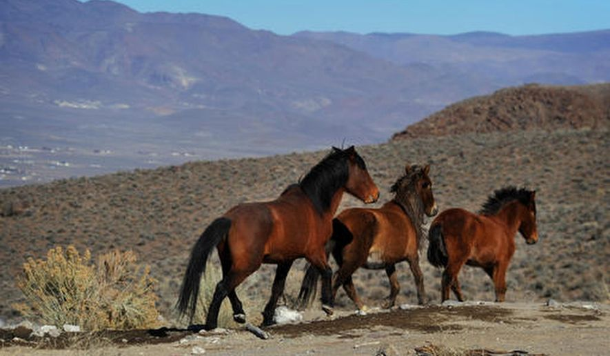 In this Jan. 23, 2015 file photo, wild horses are seen during a BLM tour in the Pine Nut Mountains just outside of Dayton, Nev. On May 2, 2017, the American Wild Horse Campaign alerted its supporters to a provision in the omnibus spending package before Congress that it says will harm the welfare of wild horses on federal lands by lessening legal protections against their exploitation and slaughter. (Jason Bean/The Reno Gazette-Journal via AP)/The Reno Gazette-Journal via AP) **FILE**