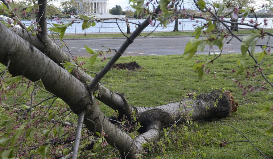 Cherry trees along the Tidal Basin in Washington are damaged following a storm, Thursday, April 6, 2017. (AP Photo/Susan Walsh)