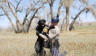 In this Monday, April 3, 2017, photo, Colorado Parks and Wildlife District Wildlife Manager Brock McArdle plays with his canine partner, a black Labrador named Cash, at Wellington State Wildlife Area near Wellington, Colo. Cash is one of only two dogs in the state trained to help wildlife officers with their investigations. He recently began working in Larimer County as part of a grant and donation funded pilot program. (Pamela Johnson /Loveland Reporter-Herald via AP)