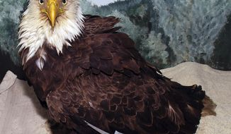 "This Tuesday, April 11, 2017 photo provided by Avian Haven shows a bald eagle at the Avian Haven bird rehabilitation center in Freedom, Maine, that was rescued near the border of Maine and Canada. The bird, nicknamed the ""Old Man,"" was tagged nearly 34 years ago, in June 1983, and is believed to be the oldest of its kind ever documented in the wild in Maine. (Glori Berry/Avian Haven via AP)"