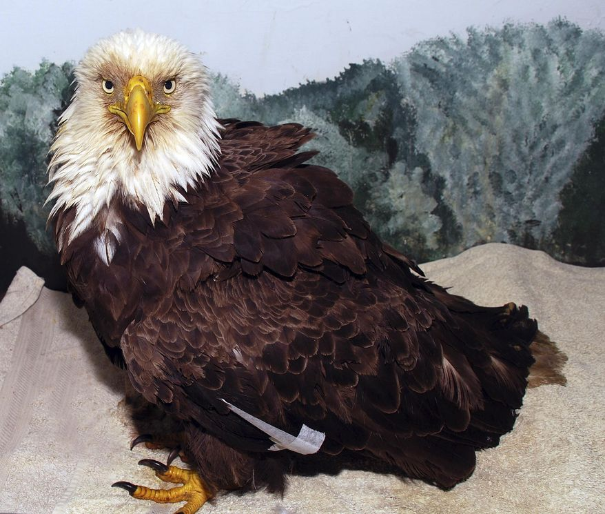 """This Tuesday, April 11, 2017 photo provided by Avian Haven shows a bald eagle at the Avian Haven bird rehabilitation center in Freedom, Maine, that was rescued near the border of Maine and Canada. The bird, nicknamed the """"Old Man,"""" was tagged nearly 34 years ago, in June 1983, and is believed to be the oldest of its kind ever documented in the wild in Maine. (Glori Berry/Avian Haven via AP)"""