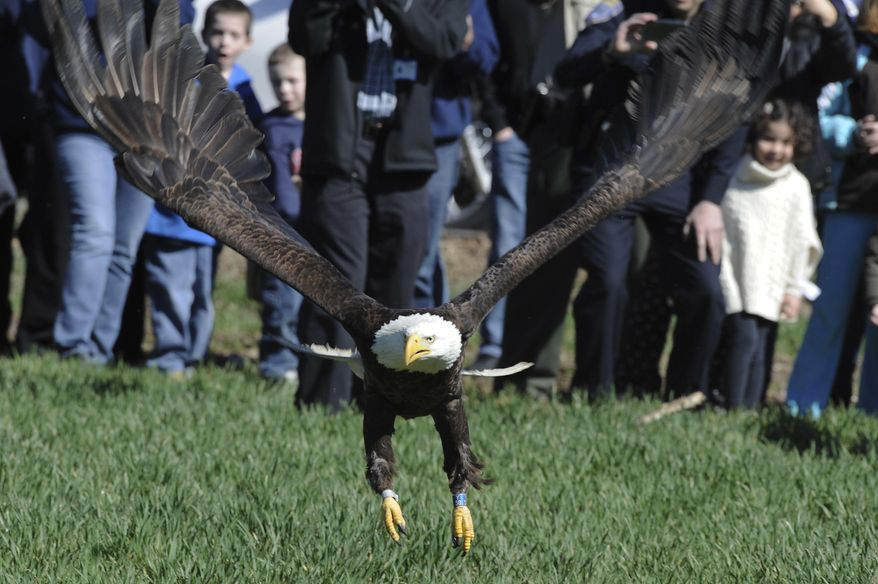 An injured eagle is released in Suffield, Conn., on Friday, April 14, 2017.  The eagle was injured by another according to raptor rehabilitator Tom Ricardi of Conway, Mass. (Dave Roback/The Republican via AP)