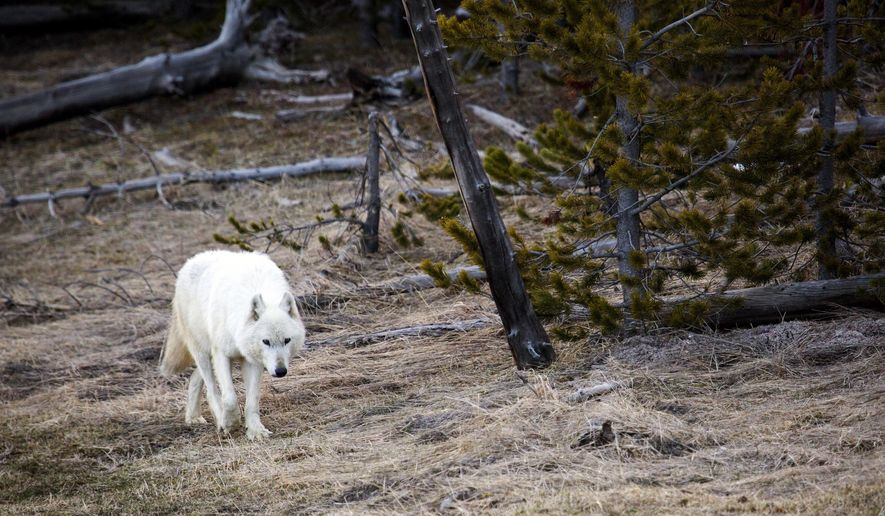 In this April 6, 2016 photo provided by the Yellowstone National Park Service a white wolf walks in Yellowstone National Park, in Wyo. One of only three white wolves roaming Yellowstone National Park has been put down by park staff after it was found with severe injuries. P.J. White of the National Park Service says the female wolf was found Tuesday, April 11, by hikers on the north side of the park. White says the wolf was in shock and dying, prompting the decision to euthanize it and investigate what caused the wolf's injuries. The nature of the initial injuries could not immediately be determined. (Neal Herbert/Yellowstone National Park via AP)