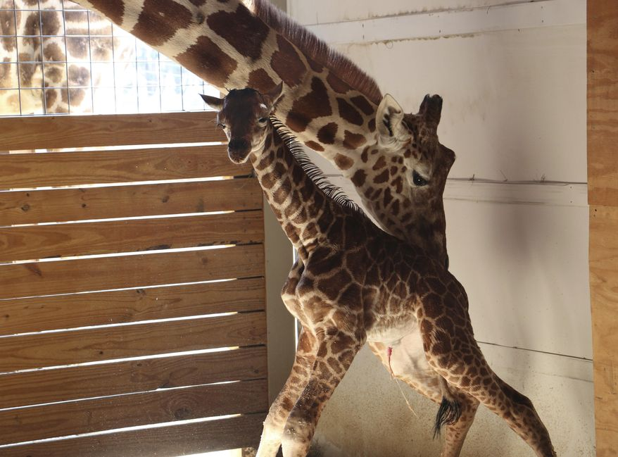 In this photo provided by Animal Adventure Park in Binghamton, N.Y., a giraffe named April stands with her new calf on Saturday, April 15, 2017. Her birth was broadcast to an online audience of more than a million viewers. (Animal Adventure Park via AP)