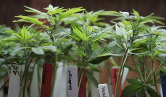 This April 15, 2017, file photo shows marijuana plants for sale at the ShowGrow dispensary a medical marijuana provider in downtown Los Angeles. (AP Photo/Richard Vogel,File)