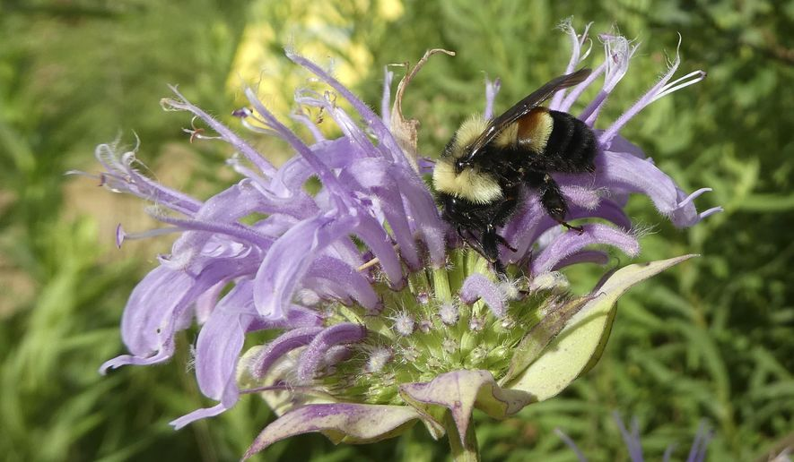 FILE - This 2016 file photo provided by The Xerces Society shows a rusty patched bumblebee in Minnesota, which was officially designated an endangered species March 21, 2017. A federal judge ruled Monday, April 17, 2017, that because of the bumblebee's status, construction on a multimillion-dollar suburban Chicago road project has to stop. Court documents say the bee was found along the parkway's route in the Brunner Family Forest Preserve. The order is in place at least until April 25. (Sarah Foltz Jordan/The Xerces Society via AP, File)