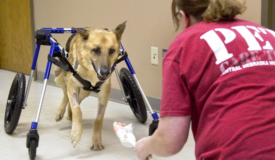 In this Wednesday, April 12, 2017 photo, Lacey Bonner holds a Vienna sausage out in front of Dex to motivate him to use his legs at the Central Nebraska Humane Society in Grand Island, Neb. Dex came to the CNHS in rough shape but has begun to improve thanks to the help of his wheelchair. (Zach Mayhew /The Independent via AP)