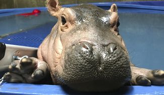 "In this April 12, 2017 photo provided by the Cincinnati Zoo & Botanical Gardens, Fiona a prematurely born hippopotamus, swims in her quarantine enclosure at the Cincinnati Zoo & Botanical Gardens in Cincinnati. Millions have seen her on video, thousands have bought ""Team Fiona"" T-shirts and thousands more have chomped on Fiona-themed cookies. The public embrace of the Cincinnati Zoo's prematurely born hippopotamus has helped ease the months of backlash over the death of the zoo's gorilla Harambe. (Courtesy Cincinnati Zoo & Botanical Gardens via AP)"