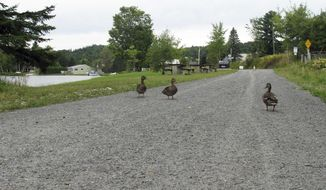 FILE - In this Sept. 10, 2015, file photo, ducks walk near the Joe's Pond section of the Lamoille Valley Rail Trail in Danville, Vt. As of April 2017, about a third of the 93-mile trail between Swanton and St. Johnsbury has been completed for use by outdoor enthusiasts. (AP Photo/Wilson Ring, File)