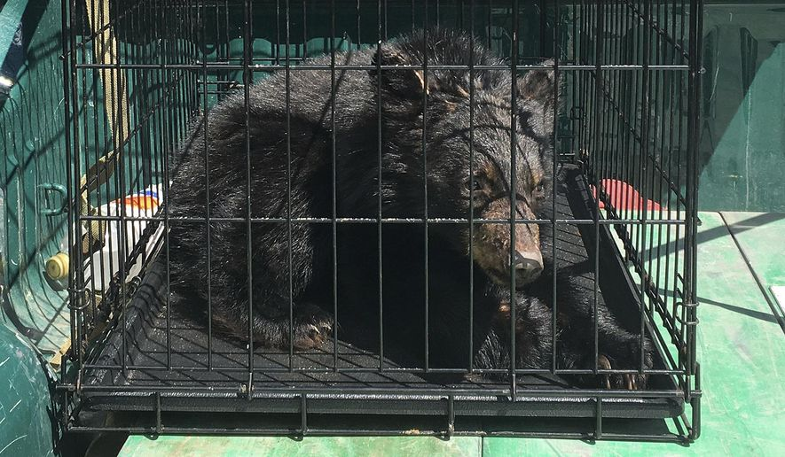 This photo released Monday, April 24, 2017, by the Vermont Fish & Wildlife Department shows one of several bear cubs found the previous Monday starving in Guildhall, Vt., after a shortage of wild food supplies in parts of the state last fall. The cubs were sent to a bear rehabilitator in New Hampshire who will care for the cubs until they can be returned to the wild. (Mark Schichtle/Vermont Fish & Wildlife Department via AP)