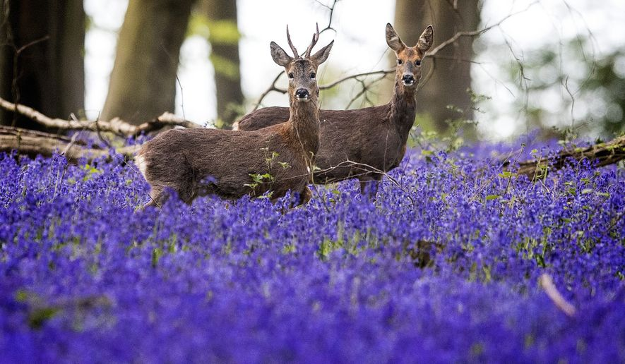 Deer roam through bluebells (Hyacinthoides non-scripta) highlighted by early morning sun at Micheldever Wood in southern England, as a blast of Arctic weather  has brought snow to northern parts Tuesday April 25, 2017. A blast of late winter weather has brought snow flurries to many parts of the North of England and the Midlands.(Victoria Jones/PA via AP)