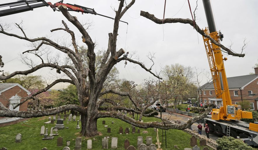 A large branch is lifted away from an oak tree in Basking Ridge, N.J., Monday, April 24, 2017. A white oak tree that has watched over a New Jersey community and a church for hundreds of years began its final bow Monday as crews began its removal and residents fondly remembered the go-to spot for formal photos, landmark for driving directions and the remarkable piece of natural history. (AP Photo/Seth Wenig)