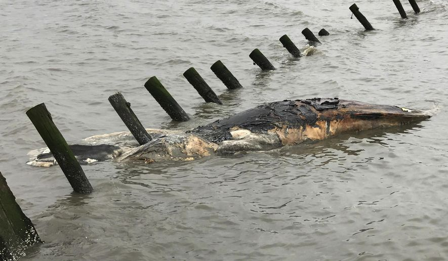 This April 24, 2017 photo provided by MERR Institute, Inc. shows a dead whale at Port Mahon, Del. Federal officials said humpback whales have been dying in unusually large numbers along the Atlantic Coast. (Suzanne Thurman/MERR Institute, Inc. via AP)