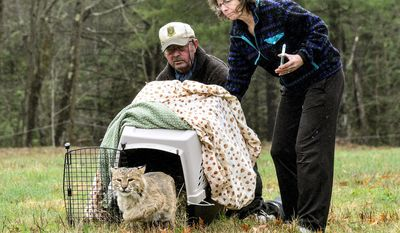 KRISTOPHER RADDER - BRATTLEBORO REFORMER Ted Walski, a wildlife biologist for Region 4 of the N.H. Fish and Game Department, and Deb Gode, of the Winchester Wildlife Rehabilitation Center, release a bobcat Wednesday, April 26, 2017, on a field in Chesterfield, N.H. The bobcat was was injured on Route 9, in Chesterfield. (Kristopher Radder /The Brattleboro Reformer via AP)
