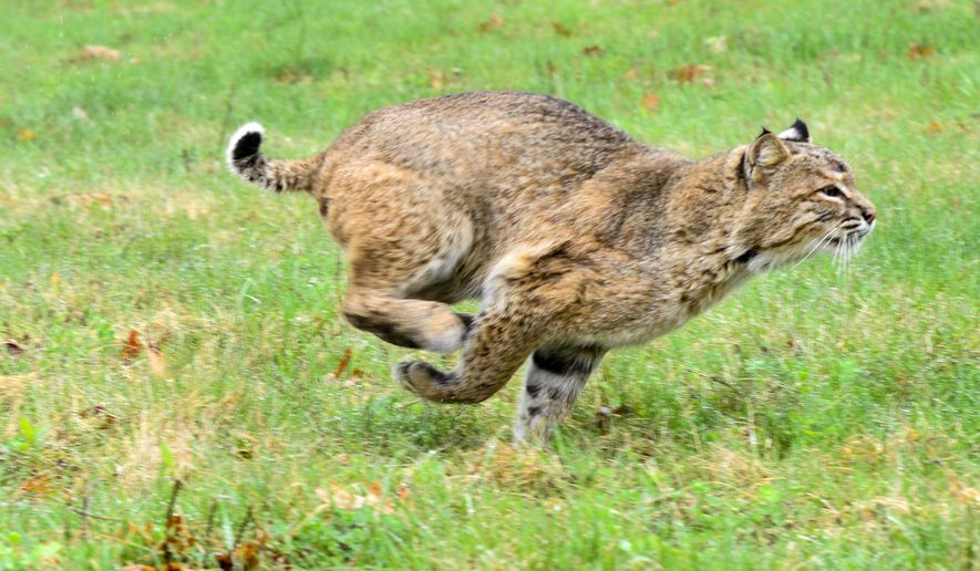 A bobcat runs after being released by Ted Walski, a wildlife biologist for Region 4 of the N.H. Fish and Game Department, and Deb Gode, of the Winchester Wildlife Rehabilitation Center,  Wednesday, April 26, 2017, on a field in Chesterfield, N.H. The bobcat was injured on Route 9 on April 10 in Chesterfield. (Kristopher Radder /The Brattleboro Reformer via AP)