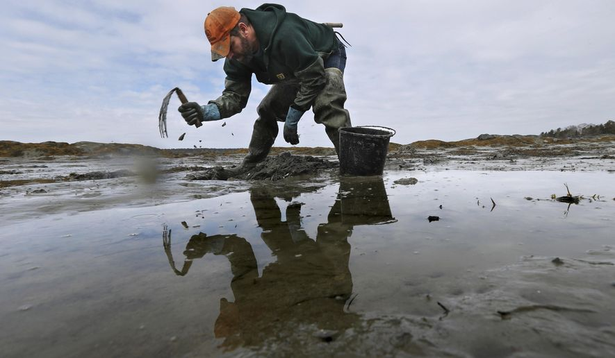 In this Tuesday, March 21, 2017 photo, Dan Harrington digs for bloodworms on a mudflat in Freeport, Maine. Maine is by far the biggest harvester of bloodworms and sandworms in the country, and the state's harvest has declined to a third of levels in the 1970s. (AP Photo/Robert F. Bukaty)